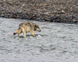 Lamar Canyon Wolf in the River.jpg