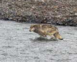 Lamar Canyon Wolf Running in the River.jpg