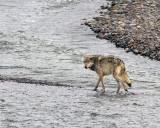 Lamar Canyon Gray Wolf in the Lamar River.jpg