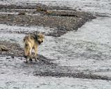 Lamar Canyon Wolf on the Sand Bar in the River.jpg