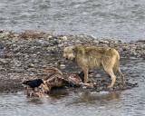 Lamar Canyon Wolf on the Elk Carcass.jpg