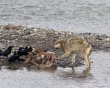 Wolf vs Ravens.jpg