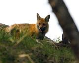 Red Fox on the Hill.jpg