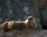 Marmot at Sheepeater Cliff.jpg