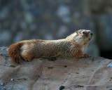Marmot on the Rock at Sheepeater.jpg