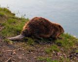 Beaver Heading for the River.jpg