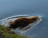 Beaver Entering the Yellowstone River.jpg