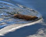 Beaver Swimming in the Yellowstone River.jpg