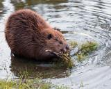 Beaver Chewing on a Stick.jpg