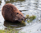 Beaver Chewing on a Branch in the Yellowstone River.jpg