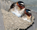 Swallows on the Nest.jpg