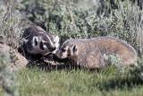 Two Badgers Near Blacktail Creek.jpg