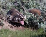 Badger Yawning.jpg