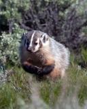 Badger Wringing His Hands.jpg