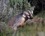Badger Profile.jpg