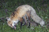 Fox Eating Breakfast.jpg
