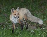 Lake Area Fox in the Marsh.jpg