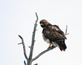 Red Tail Hawk on the Dunraven.jpg