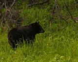 Black Bear Near Calcite Springs.jpg