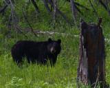 Black Bear Sow.jpg