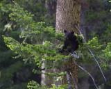 Black Bear Cub on a Branch.jpg