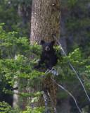 Black Bear COY.jpg