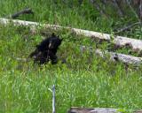 Black Bear Cubs Wrestling.jpg