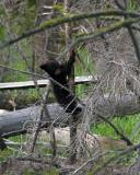 Black Bear COY Climbing a Tree.jpg