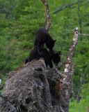 Black Bear Cubs Playing.jpg