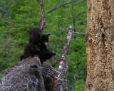 Black Bear Cubs on a Stump.jpg