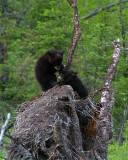 Cubs Wrestling in the Tree.jpg