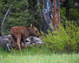 Moose Calf Near Pebble Creek.jpg