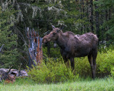 Moose Cow with Calf Near Pebble Creek.jpg