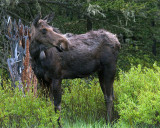 Moose Cow Near Pebble Creek.jpg