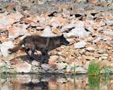 Mollie Wolf Running By Floating Island Lake.jpg