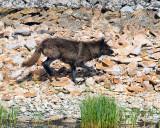 Wolf on the Run.jpg