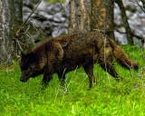 Black Wolf in the Woods.jpg