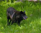 Mollie Wolf in the Grass.jpg
