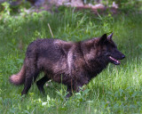 Wolfish Grin.jpg