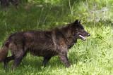 Wolf Near Floating Island Lake.jpg
