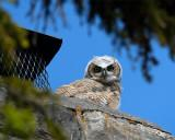 Great Horned Owl Fledgling on a Chimney at Mammoth.jpg