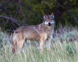 Lone Grey Wolf at Dunraven.jpg