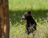 Black Bear Cub Standing in the Tall Grass.jpg