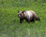 Grizzly in the Grass.jpg