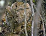 Lynx in the Trees.jpg