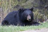 Black Bear Recumbant.jpg