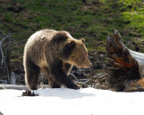 Grizzly at Obsidian on the Snow.jpg