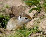 Baby Uinta Ground Squirrel.jpg