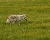 Coyote with Vole.jpg