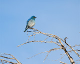 Mountain Bluebird Near Sedge Bay.jpg